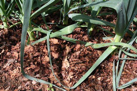 Using Mulch Quiet Corner Leaf Mulch For Vegetable Garden