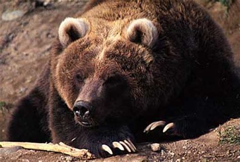 timothy treadwell bear attack timothy treadwell junglekey fr image 250