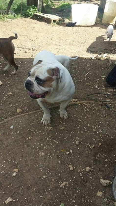 bully dogs for sale bully puppies for sale in montego bay jamaica for 50 000