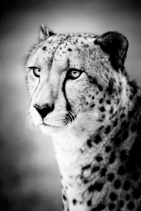 cheetah art photograph black and white photography nature