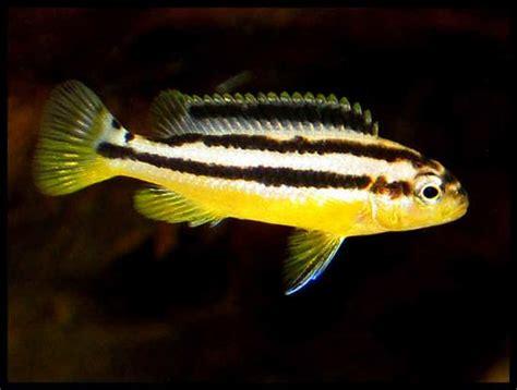 Pakan Ikan Hias Niasa cara merawat ikan niasa