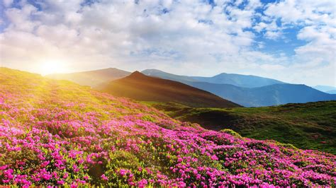 wallpaper summer pink wallpaper rhododendron flowers mountain summer pink 4k