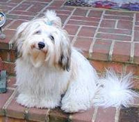 havaneses puppies havanese puppies breeders havaneses