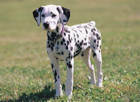 dalmatian puppies dalmatian history