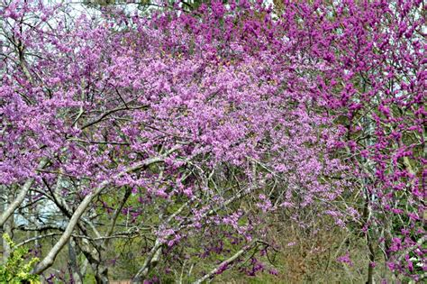 trees that bloom pink in spring fairview garden center