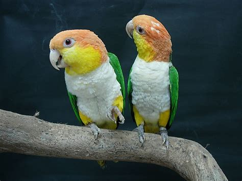 Parrot L by White Bellied Parrot
