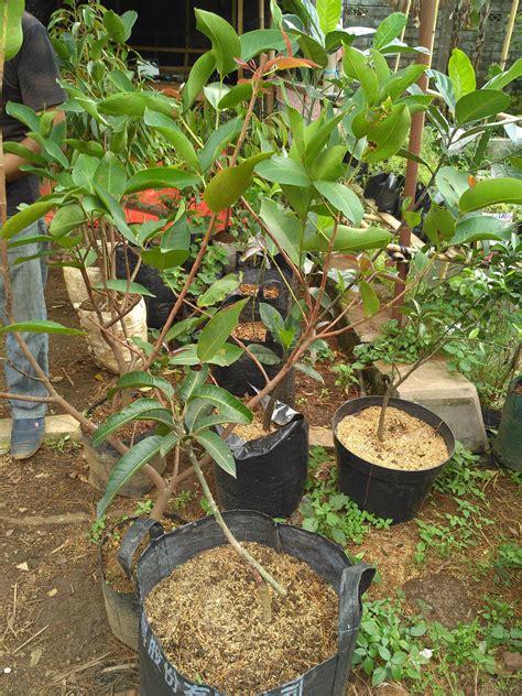 Bibit Alpukat Yogyakarta jual bibit buah eksotis varietas unggul di bantul