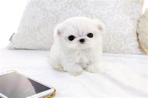 miniature maltese puppies the origin of teacup maltese dogs how to care them