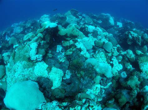 Major Coral Bleaching Event In Flower Garden Banks Flower Garden Reef