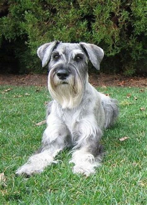 Surpet Standar standard schnauzer breed information history health