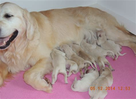toronto golden retriever breeders golden retriever puppies duke goldnote golden retrievers