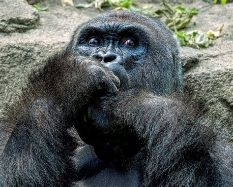 Gorilla Parents Criminal Record Beautiful Unseen Pictures Show Harambe The Gorilla S Human Side And Why World Fell In
