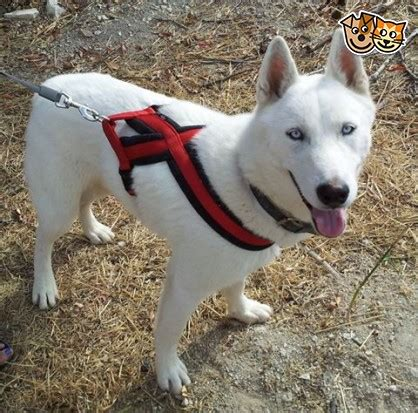 husky puppy rescue husky rescue halifax west pets4homes