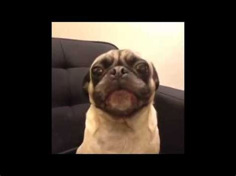 pug i you image gallery i you pug