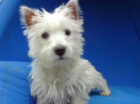 westie puppies for adoption adopt a west highland white terrier westie find dogs for adoption breeds picture