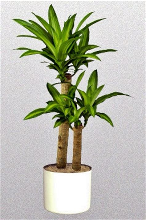 Bolu Kering Spesial Sri Rejeki tanaman hias paling mudah dipelihara budidayaku