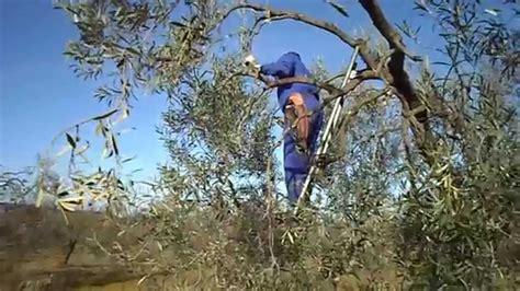 la poda pruning 8467703059 poda del olivo chucena huelva オリーブ剪定 pruning of the olive tree chucena spain youtube