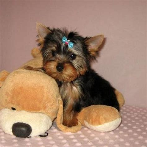 white mini yorkie 1000 ideas about mini yorkie on yorkie terriers and yorkie puppies