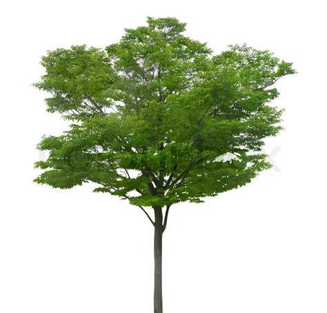 white and green tree gr 252 nen baum auf einem wei 223 en hintergrund stock foto