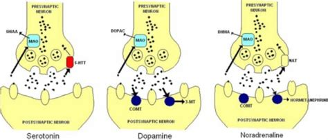 Neurotransmitters Also Search For Opinions On Monoamine Neurotransmitter