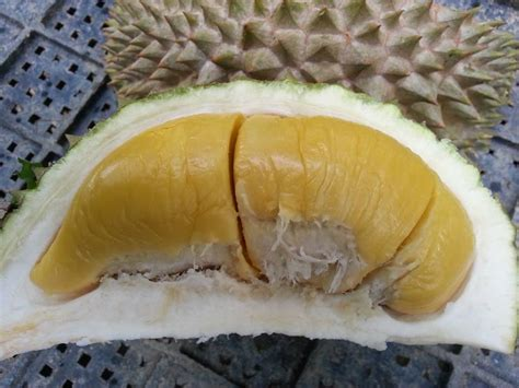 Bibit Durian Montong Bawor the gallery for gt kebun durian bawor