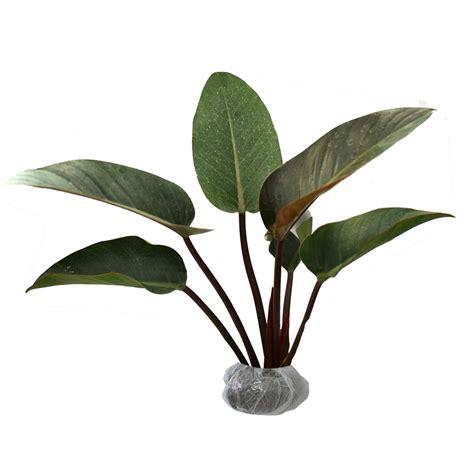 Philodendron Selloum Tanaman Philo tanaman philodendron black cardinal bibitbunga