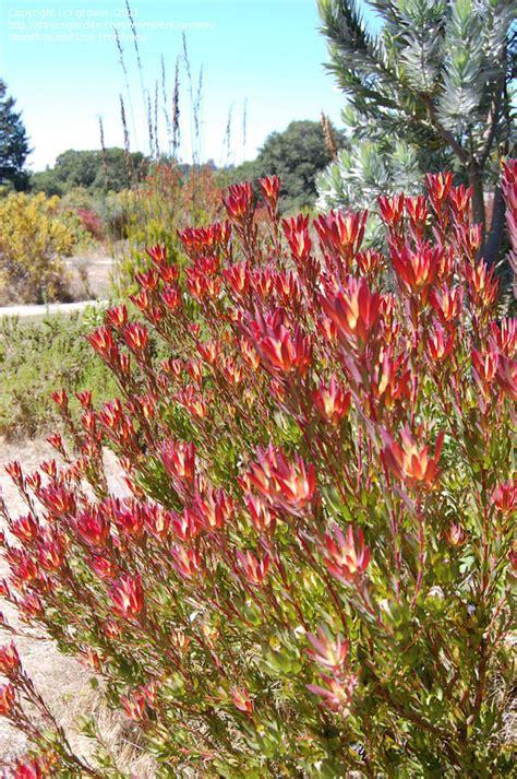Backyard Safari Plantfiles Pictures Common Sunshine Conebush Geelbos