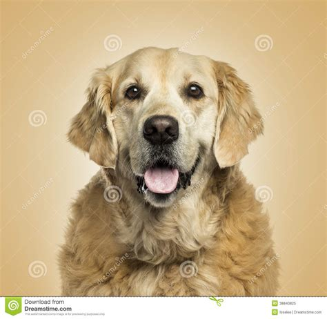 golden retriever up golden retriever puppy stock photo a up photo of