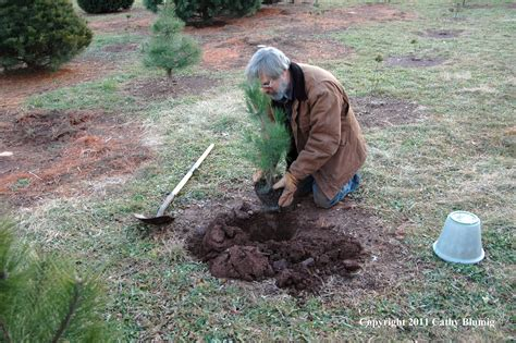 planting scotch pine seedling wolgast tree farm somerset nj