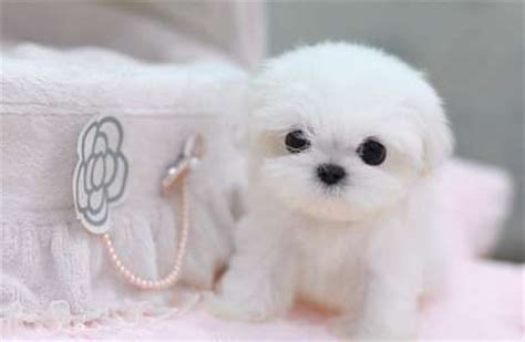 miniature maltese shih tzu teacup shih tzu puppies royal teacup pomeranian maltese yorkie shih tzu puppies