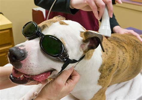 laser therapy for dogs laser therapy may alleviate pet animal connection
