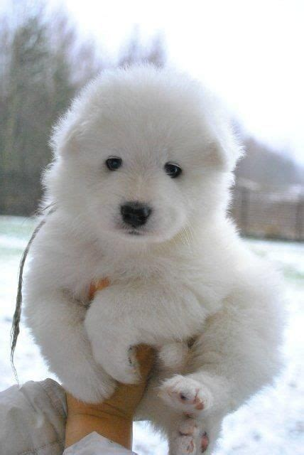 puffball puppy cyoot puppy ob teh day white puffball pets and