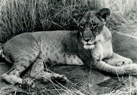 film elsa the lioness my comments on the 90 day finding on a petition to list