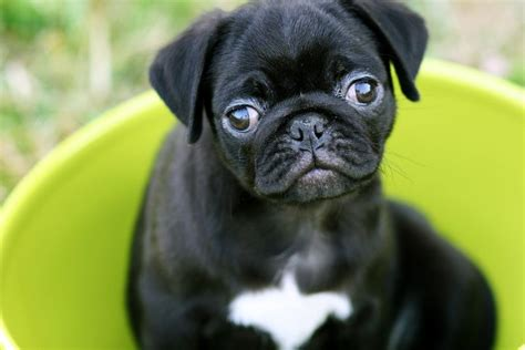 how much is a pug puppy worth tips for pet photography a beautiful mess