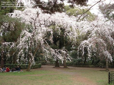 17 best ideas about yoshino cherry tree on pinterest flowering cherry tree japanese cherry
