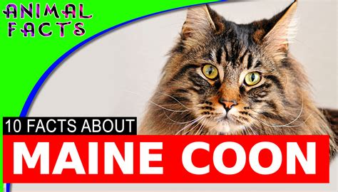Large Maine Coon Cat Facts Cats 101 #mainecoon ? Animal Facts