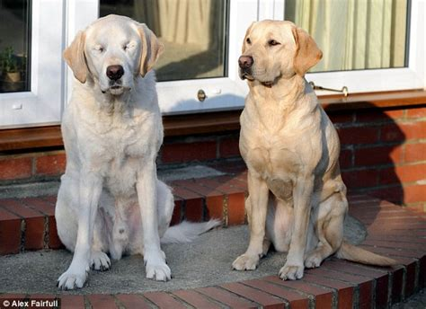 blind dogs guide aids blind owner and former leading labrador after he loses sight daily