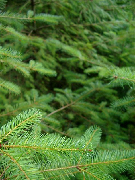free stock photo of green fir tree leaves at the forest