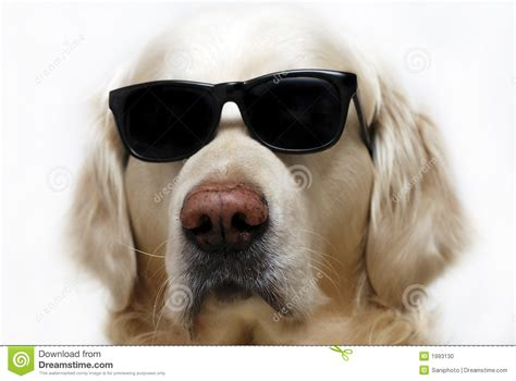 puppy sunglasses in glasses stock photo image 1993130