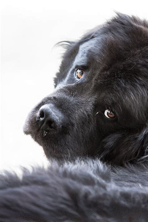 why is my drooling around the new puppy best 25 newfoundland dogs ideas on