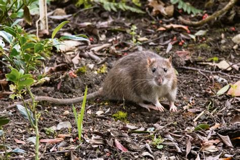 How To Stop Rats Coming Into Garden by How To Stop Rats From Your Garden Their Home