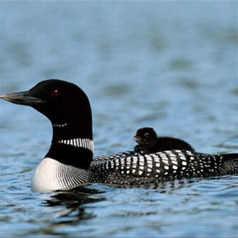 canadian loon canadiana pinterest