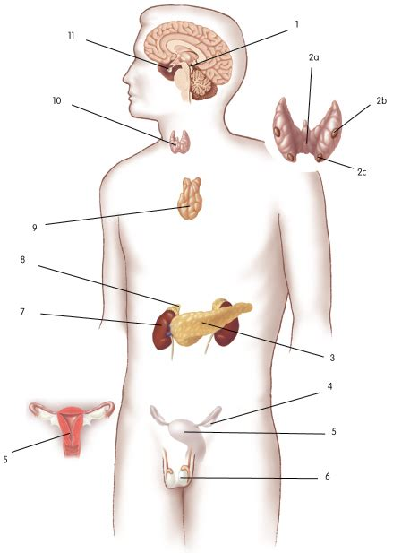 diagram of the endocrine system endocrine glands pictures posters news and on