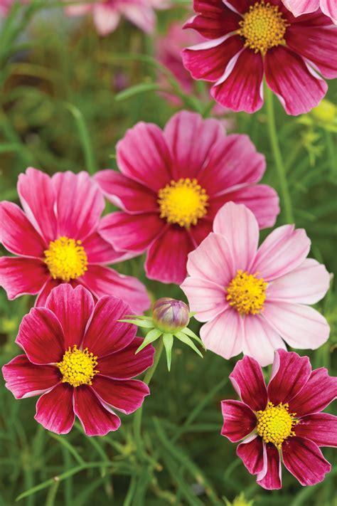 Cosmos Bipinnatus Antiquity Flower Garden Plants