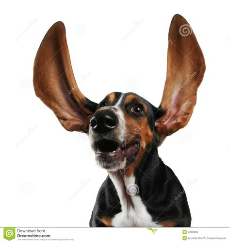 flapping ears flapping ears stock photo image 7280460