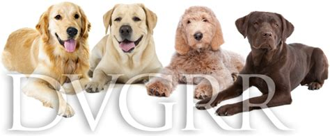 delaware valley golden retriever rescue about delaware valley golden retriever rescue