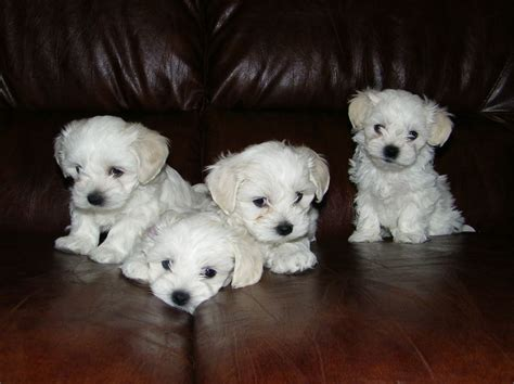 maltese puppies for sale maltese puppies for sale cirencester gloucestershire