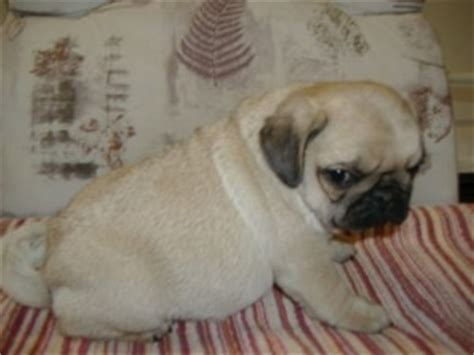 pug puppies louisville ky pets louisville ky free classified ads