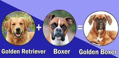 boxer golden retriever most popular boxer cross breeds designer breeds