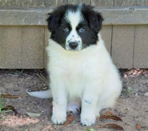 great pyrenees mix puppies for sale 1000 ideas about collie puppies for sale on border collie puppies border